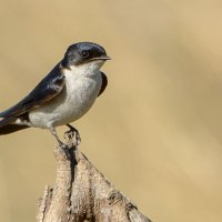Pearl-breasted Swallow