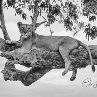 Lioness - Great View