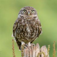 Little Owl - Nice Pose