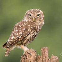 Little Owl - LOOKING good