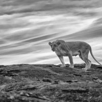 Lioness Black Rock (B&W)