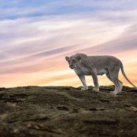 Lioness Black Rock (Colour)