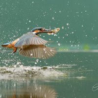 Flying Fisher
