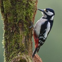 Great Spotted Woodpecker -1