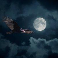 Turkey Vulture moonlight