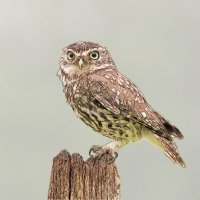 Little Owl - Big Eyes (Photo Sketch)