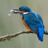 Kingfisher - Fresh Fish
