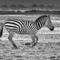 Zebra - On the run