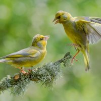 Green Finch's - Changing Places