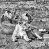 Lion Family
