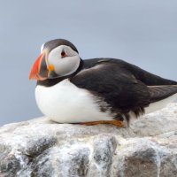 Puffin High and Dry