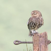 Little Owl - Fence Post (Photo Sketch)
