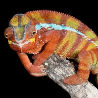 Panther Chameleon - Looking at you
