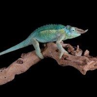 Jacksone Horned Chameleon