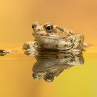 Common Toad - Reflecting on a log
