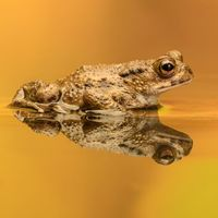 Common Toad - Not Happy