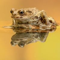 Common Toad - Reflecting