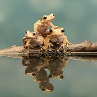 Peacock Frog - Trio