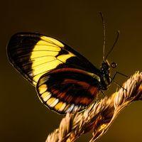 Postman Butterfly - Sunrise