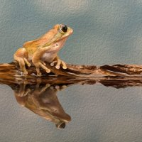 Peacock Tree Frog - Posing (Photo Canvas)