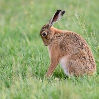 Hare - Looking Sad