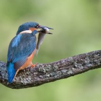 Kingfisher - Full Beak