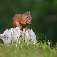 Red Squirrel -2