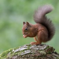 Red Squirrel - Looking Good
