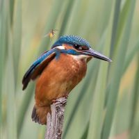 Kingfisher - Ouch