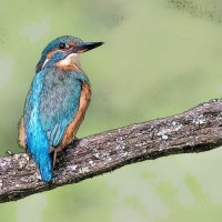 Kingfisher - Glowing (Photo Sketch)