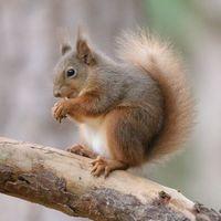Red Squirrel - Balance