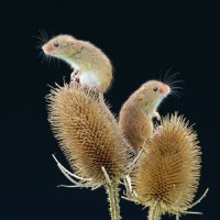 Harvest Mice - Lookout's