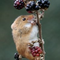Harvest Mouse - 2