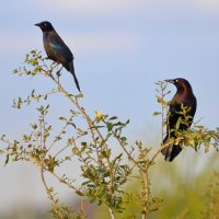 Grackles - I'm behind you