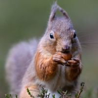 Red Squirrel - Nuts