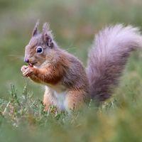 Red Squirrel - Close Up