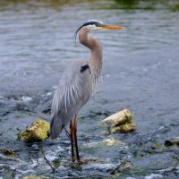 Great Blue Heron - Where's Lunch