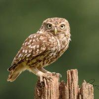 Litle Owl - Nice Stare