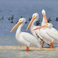 Pelicans Paddling