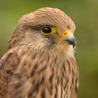 Hawk Eye - 2