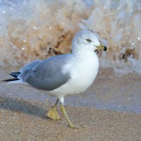 Herring Gull Hammock Beach
