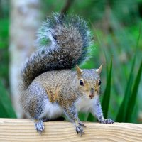 North American Grey Squirrel