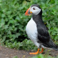 Puffin - Farn Islands