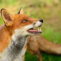 Red Fox - Nice Teeth