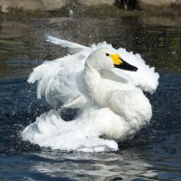 Whooper Swan 3