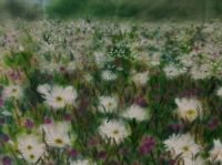 Daisies in Clover by Sheila Lewis
