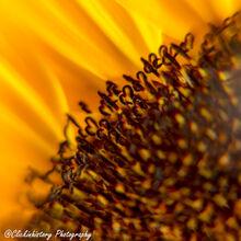 Many hearts of the sun