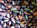 PURE ROASTED CACAO BEANS