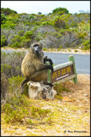 Baboon in Cape of Good Hope