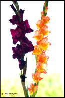 Gladiolen - Gladioli - Glaïeuls